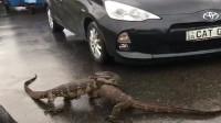 两只蜥蜴,居然在大马路上打架,后面的车堵了好几公里。