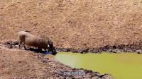 300斤野猪正在河边喝水,只觉背后突然一凉, 下一刻就当场丧命