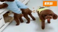 搞笑福利:三只泰迪把橘子扔了一地, 主人问是谁弄的, 小萝莉赶紧指出来, 太搞笑了-www.nbitc.com,慧之家