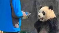 搞笑福利:熊猫:我是国宝我怕谁?叉腰熊猫火到了国外,网友:太搞笑了-www.nbitc.com,慧之家