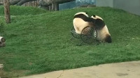 搞笑福利:两只熊猫都想坐椅子,结果竟然打了起来,场面太搞笑了-www.nbitc.com,慧之家