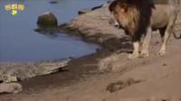 搞笑福利:狮子面对鳄鱼的反应挺搞笑-www.nbitc.com,慧之家