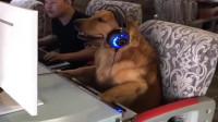 搞笑福利:四川这条狗成精啦!戴着耳机目不转睛望着电脑屏幕,画面看着太搞笑了!-www.nbitc.com,慧之家