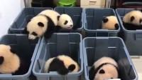 搞笑福利:熊猫好不容易从塑料箱里爬出来,突然猪队友大吼一声,太搞笑了!-www.nbitc.com,慧之家