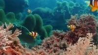 生物多样性最丰富的海洋生态系统之一,小丑鱼夫妇的幸福生活
