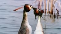 凤头鸊鷉在水面起舞,是对新生命的礼赞
