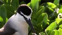 当妈的也是操碎了心,褐翅燕鸥用食物诱幼鸟离开巢穴