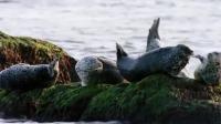 为争休息地大打出手,小斑海豹被吓到另找地盘
