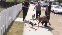 美国警察办案发生小插曲,小狗不知死活袭击警犬,这次警察忍了!