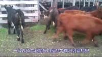 农场主正在拍摄赶牛视频,一道闪电劈来,13头牛瞬间毙命