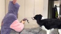 3岁高智商德牧为何我的狗狗和别人家宠物不一样太可爱了