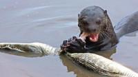 水獭见到鳄鱼,就像猫见到了老鼠,吃鳄鱼像是在嚼口香糖