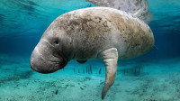 世界上最惨的生物,从发现到灭绝仅用了27年,原因让人心痛!