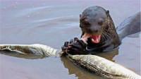 水獭见到鳄鱼,就像猫见到了老鼠,吃鳄鱼如同在嚼口香糖!