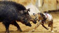 400斤野猪大战比特犬,4只比特犬展开车轮战,却被野猪实力碾压