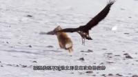 空中的老鹰俯冲而下,地上觅食的狐狸悲剧了,镜头拍摄全过程!