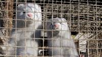 全球首例疑似动物传人新冠病例出现:荷兰有人从水貂身上感染新冠病毒