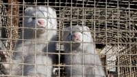 WHO:荷兰报疑似水貂传人新冠病例 或为全球首例动物传人案例