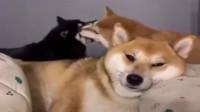 柴犬:我没有快乐了。