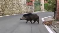 四川绵阳市美女:开车偶遇野猪,发现猪都知道走人行道,有些人还不知道。