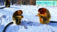 我国的珍贵保护动物金丝猴
