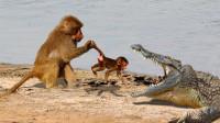 鳄鱼猎杀小狒狒,结果被母狒狒追着暴打,下一秒鳄鱼悲剧了