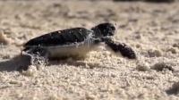 勇往直前!小海龟冲出危险,奔向自由的大海