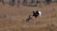 猎豹好不容易捞下一只大鸟,谁想煮熟的鸭子还真飞了!