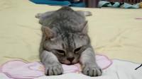 广西北海猫猫:你趴着的时候是什么样子,猫咪趴着的时候就是什么样子