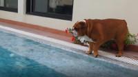 胖墩斗牛犬由于体重太胖,都不敢下水游泳,怕沉下去上不来