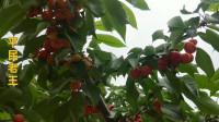 五月是樱桃成熟的季节,采摘樱桃的人还不少,看看老王选的怎么样