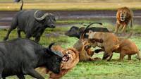 水牛临死前爆发了!牛角直接刺穿狮子的身体,让它付出了沉重代价