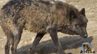 不同品种的狼能同圈吗?狼群为王位强行淘汰黑狼,最后1只咋生存
