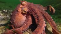 外国一男子出海捕蟹,遭遇巨型章鱼袭击,镜头拍下全过程!
