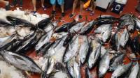 深夜遇到金枪鱼群,全员狂拉大金枪,最后看渔获有2000多斤