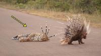 花豹攻击豪猪,豪猪不跑反而戏耍花豹,下一刻花豹悲剧了!