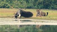 """有只""""巨怪""""河边喝水,被美洲豹给盯上,等它转头瞬间豹子楞了"""