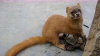黄鼠狼最怕的动物终于找到了,原来是它,看完长见识了