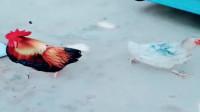 河北衡水大哥:养了两年多的大公鸡,第一次见母鸡就变成这样了