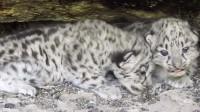 罕见雪豹哺乳画面曝光:雪豹妈妈岩洞中哺育幼崽