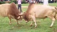 老挝篇斗牛