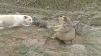 狗狗发现土拨鼠,久攻不下急得叫,土拨鼠的防御能力滴水不漏!