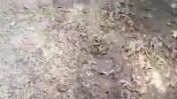 男子野外发现一条非常凶猛的蛇,这是什么蛇