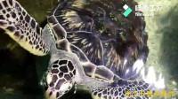 调皮的海龟,总是向游客点头致意!