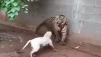 老虎:别过来!我会控制不住我自己咬你的!狗子:瞧你那怂样!本汪不信!