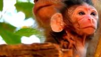 可爱的小萌猴刚出生,是个皱巴巴的小老头