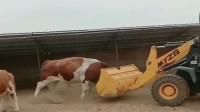 牛脾气上来,主人开着挖掘机都招架不住,根本就不是对手!