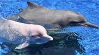 """海湾的怀抱:现实版""""美人鱼""""白海豚濒临灭绝"""