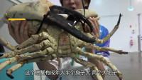 价值十七万日元的螃蟹,吃起来是什么样的?看日本小伙烹饪!