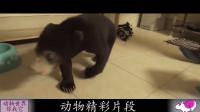 俄罗斯人:熊不能在家养吗?看它多可爱!